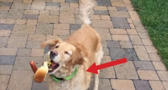 A dog tries to grab food while jumping: you'll love it INSTANTLY !