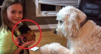 Elle ramène à la maison un cochon de Guinée, mais elle n'imaginait pas la réaction de son chien