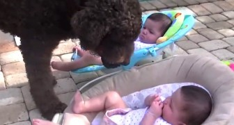 This dog wants to play fetch: what he does with these twins is hilarious !