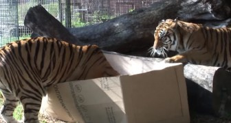 They put cardboard boxes in the tigers' enclosure ... their reaction is awesome!
