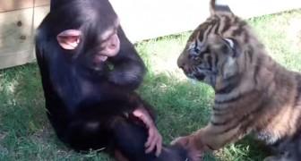 En apa, två tigrar och en varg har lekis på härberget. Bedårande!