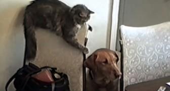 Este gato esta por cumplir un gesto arriesgado: las consecuencias son increibles