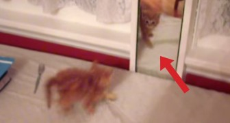 A cat you sees himself in the mirror: the reaction is hilarious
