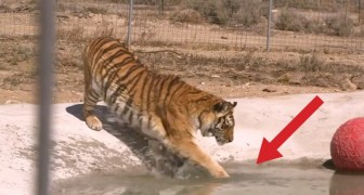 2 tigers are rescued and touch water for the first time: their reaction is amazing!
