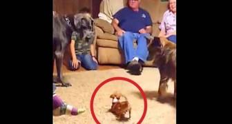 3 cani stanno giocando in salotto: la reazione del gigante fa ridere tutta la famiglia