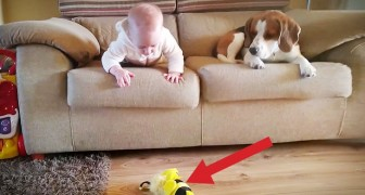 A baby drops his toy: the dog's reaction is priceless !