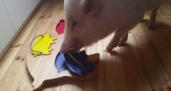 It looks like a normal domestic pig, but look what he can do: BRILLIANT !