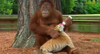Deze orang-oetang daalt elke dag neer vanuit haar boom om een hele SPECIALE reden
