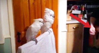 He started playing an Elvis song: the reaction of the parrots is amazing!