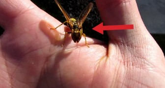 At first glance it looks like a wasp, but wait a few seconds and you will be stunned !