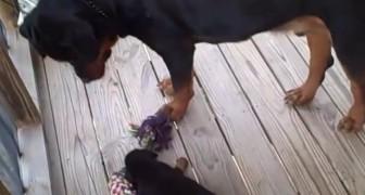 Sua madre lo sfida al tiro alla fune, ma il suo comportamento stupirà anche lei!