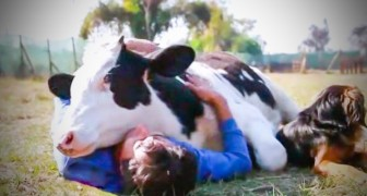 He's rescued from a dairy farm immediately after birth: his behavior now, will leave you stunned!