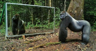 They put a mirror in the forest ... The reactions of these wild animals will surprise you !