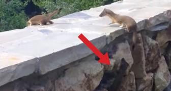 Una familia de hurones trepa un muro pero uno resta atras: el final es adorable!