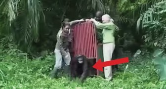 She rescued this Chimpanzee from certain death: this is what happend when they released him !