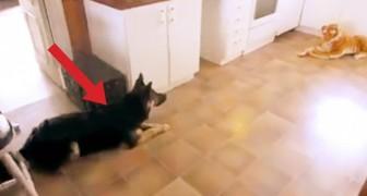 Mettono una tigre di peluche in cucina... Quando il cane la vede la reazione è esilarante