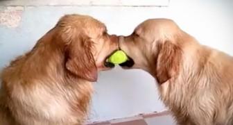 2 hundar håller i en boll, men det som den tredje gör är helt otroligt.... ofattbart!