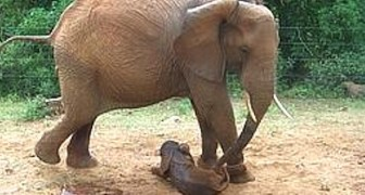 Efter ett år så kommer elefanten tillbaks till hemmet där hon har vuxit upp: orsaken är ofattbar