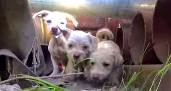 Ze ontvangen een oproep om een paar zwerfhonden te vangen, maar treffen een heel gezin aan!
