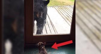 En björn närmar sig dörren, men någon har bestämt sig för att inte backa...