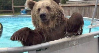 When a bear finds a pool, the result can only be HILARIOUS !