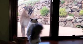 Ein Puma nähert sich dem Haus dieser Familie: Die Reaktion der Katze ist unglaublich