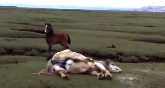 Ils voient au loin un cheval en difficulté... ce qu'ils font lui sauvera la vie