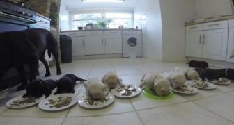 10 cuccioli di labrador sono pronti per la cena: il momento è adorabile e... molto IMPEGNATIVO!