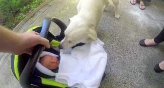 Die Eltern bringen das Neugeborene nach Hause, der Hund ist ganz von den Socken