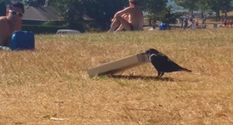 They start filming a crow struggling with a pizza box: what it does next is BRILLIANT!