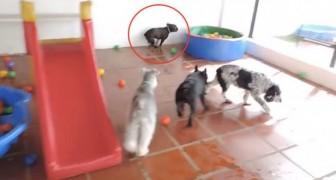 Sie bringen eine Bulldogge in einen Vergnügungspark für Hunde... Seine Reaktion ist absurd! Wow!