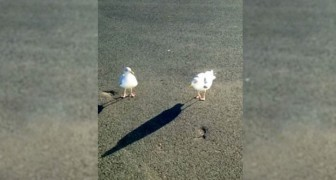 To have some food, these seagulls are willing to do ANYTHING!