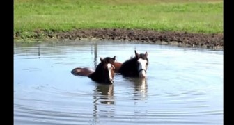 Dois cavalos aproveitam um belo banho de lago... mas veja o que fazem com o nariz...