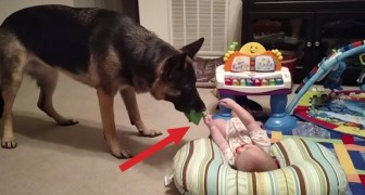 He approaches the baby with a toy in his mouth: what he does will put a smile on your face