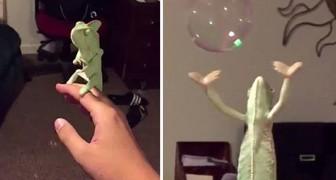 Kameleon vs. zeepbellen...spectaculair!