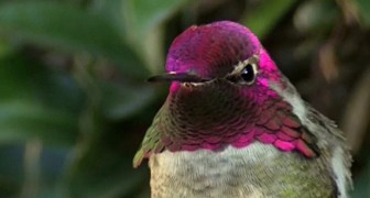 This hummingbird is beautiful, but wait untill it moves its head and you will not believe your eyes !