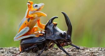 Een fotograaf heeft de kleinste rodeo ter wereld vastgelegd: een kikker berijdt een kever