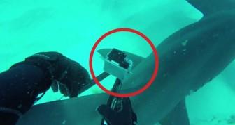 Hij weet een camera aan een haai te bevestigen: de beelden die de haai maakt zijn betoverend!