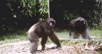 Colocam um espelho na floresta africana: a reação destes chimpanzés é chocante