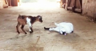 2 baby goats try to make friends with a cat: his reaction is just what you'd expect !!