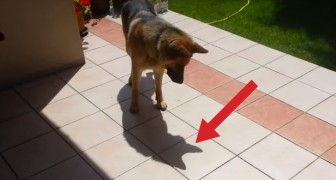 A German shepherd discoveres his own shadow: his reaction is really funny !