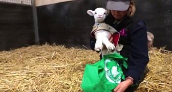 Een schaap in een tas klinkt misschien absurd, maar de beweegreden is ontroerend...