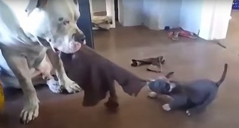 Here's the BEST tug of war over you've ever seen ... What a character!