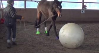 Pone una pelota gigante delante del caballo...el modo en que reaccione es un placer para todos
