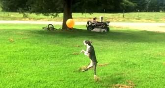 Un chien voit un ballon rouge dans l'air : sa réaction vous fera sourire