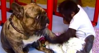 Um bebê orangotango abandonado conhece sua nova família