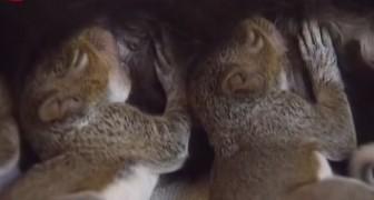 3 jonge eekhoorns zijn uit een boom gevallen. Het lijkt misschien absurd, maar dit is hun nieuwe familie...