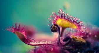 De dodelijke perfectie van een vleesetende plant schitterend gefotografeerd door Joni Niemelä