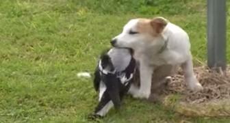 Det ser ut som om fågeln kommer att råka illa ut, men sannigen är en annan... Wow!