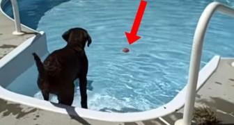 Il réussit à faire sa première nage dans une piscine : la réaction du labrador vous fera sourire!